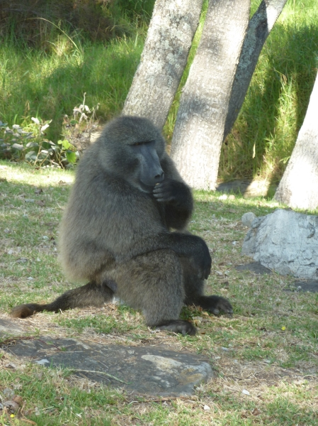 walking_with_baboons_xi